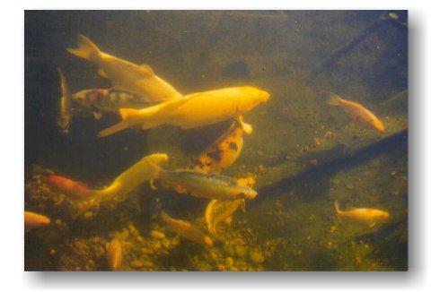 Koi und naturteiche for Koi und goldfische zusammen