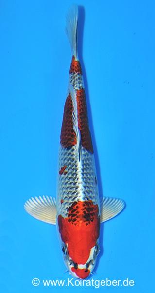 Interkoi 2012 for Japan koi wild